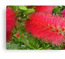 Bee on Red Bottle Brush Bush Canvas Print