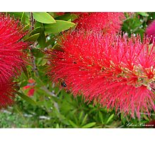 Bee on Red Bottle Brush Bush Photographic Print