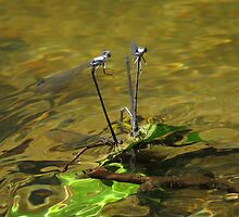 Damselfly menage a quatre' by Alex Call