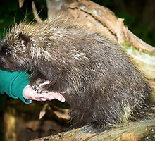 Tame Porcupine by RandyHume