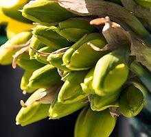 Daffodil Buds by Melodie Douglas