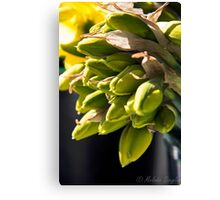 Daffodil Buds Canvas Print