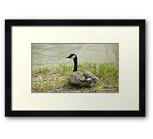 Sitting Goose Framed Print