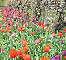 Spring Tulips along the Fence by FeliciaMarie722