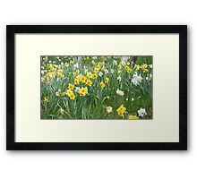 Mixed Daffodils  Framed Print