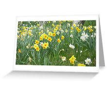 Mixed Daffodils  Greeting Card