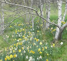 Daffodils and Birches by FeliciaMarie722