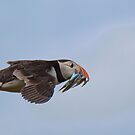 Puffin in flight by M.S. Photography/Art