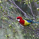 Eastern Rosella by margotk