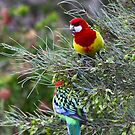 Eastern Rosellas by margotk