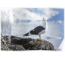 kelp gull (Larus dominicanus) photographed in Wilhelmina Bay, Antarctica in November.  Poster