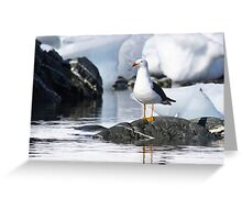 kelp gull (Larus dominicanus) photographed in Wilhelmina Bay, Antarctica in November.  Greeting Card