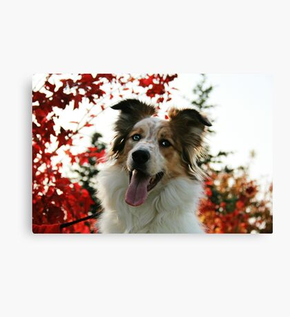 Aussie in Autumn Canvas Print