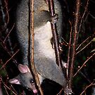 Possum......the thief in the night......! by Roy  Massicks