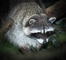 Raccoon by RandyHume