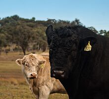 Charolais and Angus Bulls by Deborah McGrath