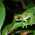 Green blooded frog by Jodi Rowley