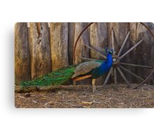 Glorius Mr Peacock Canvas Print