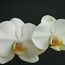 My New Orchid by Michael Matthews