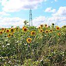 Sunflower Crop by AnnDixon