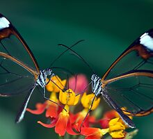 Glasswing Butterfly by GrahamWhite