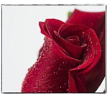Rose  by mellosphoto