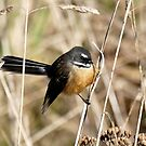 Posing In The Grasses - Fantail - NZ by AndreaEL