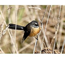 Posing In The Grasses - Fantail - NZ Photographic Print