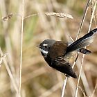 Natures Little Poser - Fantail - NZ by AndreaEL