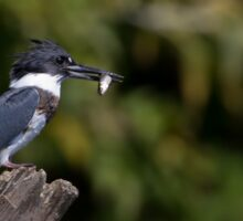 Belted Kingfisher with fish Sticker