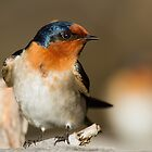 Perky Swallow by byronbackyard