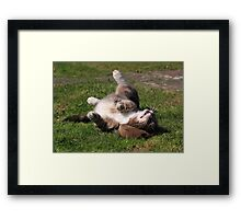 Tabby cat playing with toy mouse Framed Print