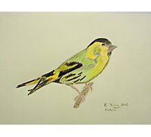 Siskin Drawing Photographic Print