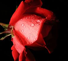 Red Rose by Dale Rockell