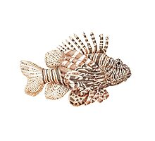 Lionfish illustration, pen and ink Photographic Print