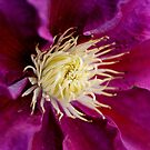 Purple Clematious by Karen  Betts