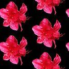 Pink Iris by appfoto