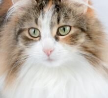 Long Hair tortoiseshell cat Sticker