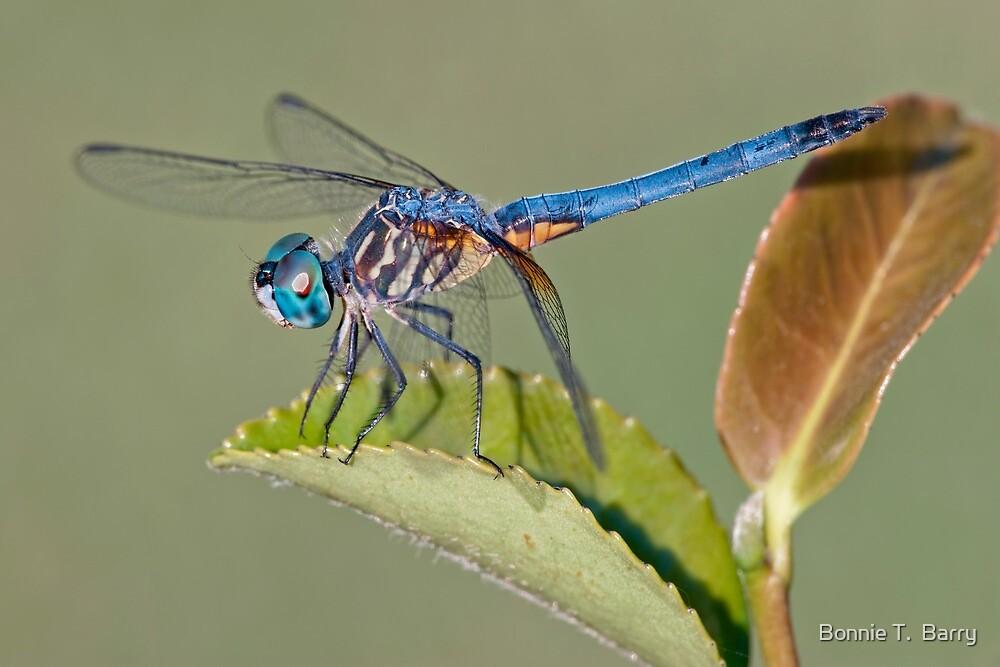 Blue Dasher Dragonfly on Camellia Leaf by Bonnie T.  Barry
