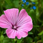 Malva sylvestris by Evelyn Laeschke