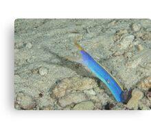 Blue Ribbon Eel Canvas Print