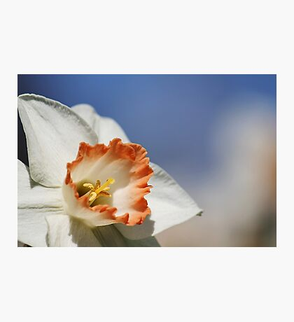 White Daffodil Photographic Print