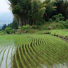 Magome rice field by Chris Allen