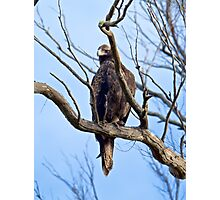 RAPTOR ~ Wedge-tailed Eagle by David Irwin Photographic Print