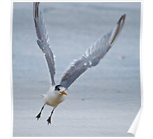 SHOREBIRD ~ Crested Tern by David Irwin Poster