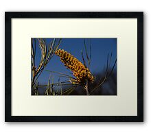 Yellow Grevillea Framed Print