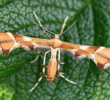 Plume Moth by Mark J Seefeldt