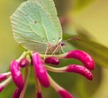 Gonepteryx rhamni butterfly on Lonicera Sticker