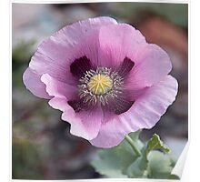 Pretty pink poppy . Poster