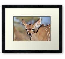 Kudu - African Wildlife Background - Innocence of Life Framed Print